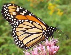 Photo of a monarch butterfly on pink weed blossoms
