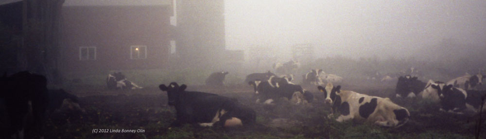 Photo of Cows resting in a misty barnyard, copyright 2012 Linda Bonney Olin