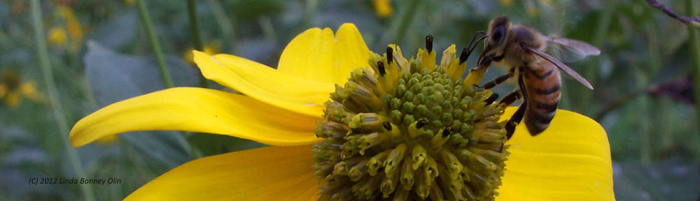 Honey bee collecting pollen from a yellow coneflower, copyright Linda Bonney Olin